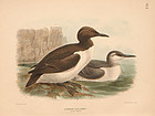 Dresser Birds of Europe Common Guillemot Lithograph