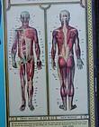 Fab 1935 Medical Teaching BODYSCOPE Anatomical Chart