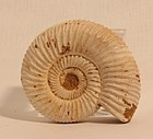 Perisphinctes boweni ammonite Fossil Jurassic Period