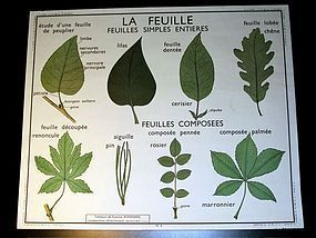 Vintage French Botanical School Poster Leaves/Stems
