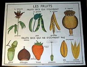 Vintage French Botanical School Poster Fruits / Grain