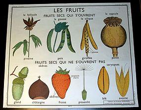 Vintage French Botanical School Poster Fruits / Grain