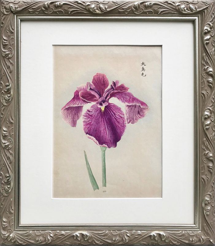 Antique Japanese Woodblock Print of a Iris C.1900