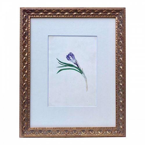 Antique Floral Watercolor Botanical Tulip Painting 19th C.