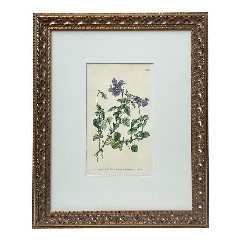 Antique Curtis Floral Botanical Engraving 1804