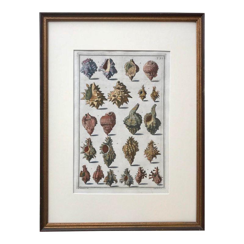 Antique Italian Engraving Sea Shells by Niccolo Guiltier 1742