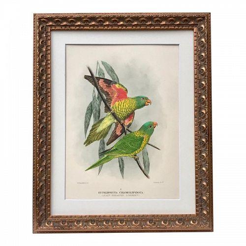 Antique Hand Color Lithograph of Parrots by Mathew C.1910