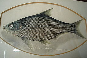 Chinese Watercolour Painting of Fish - circa 1800-1850