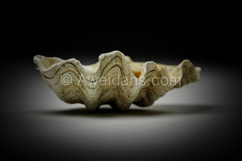 Biblical Middle Bronze Age Tridacna shell, 1850 - 1550 BC