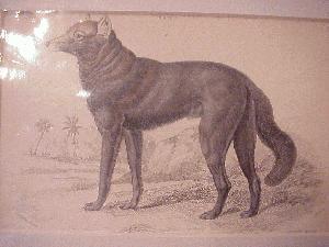 Print - Dusky Wolf