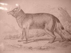 Print- Magellanic Aguara Fox