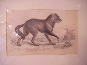Print - South American Prairie Wolf