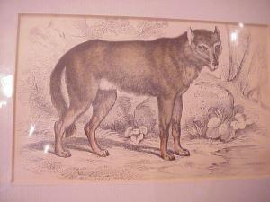 Print - Common Wolf