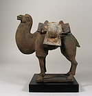 Exceptional Tang Dynasty Pottery Camel