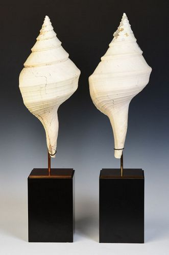 A Pair of Large Conch Shells with Stand