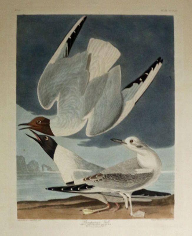 Audubon Bonapartian Gull, Plate CCCXXIV