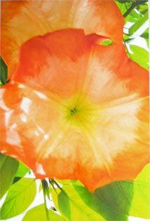 Morning Glory - Original Photograph