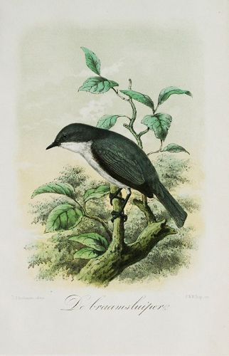J. G. Keulemans Original Lithograph, Bird Print