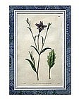 English Botanical Engraving