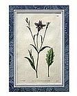 English Botanical Engraving