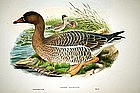 Hand Colored Lithograph By John Gould