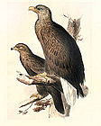 Original Hand Colored Lithograph By John Gould