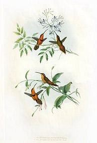 John Gould Hummingbirds