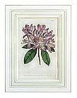 """""""The Botanical Magazine"""" English Botanical Engraving"""