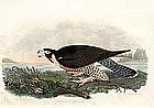 """American Ornithology"" By Alexander Wilson"