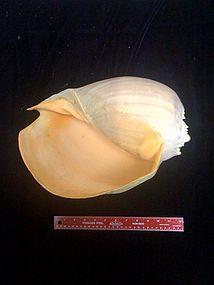 Bailor Shell