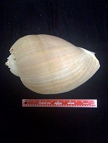 Bailer Shell