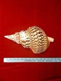 Tibetan Trumpet Shell