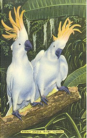 Linen Postcard, Two Cockattoos , Parrot Jungle, Miami