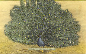 """Parrot Jungle Peacock"" Vintage Linen Postcard"