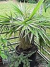 Old Man Palm Cocothrinax Crineta Cuba