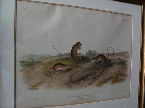 JOHN J. AUDUBON (1785-1851) original 19th century large folio lithograph print of quadruped mammals