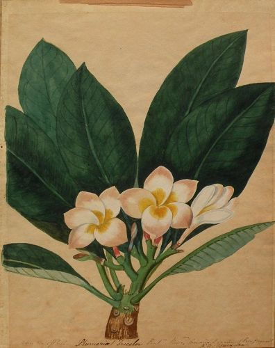 Early 19th century hand drawn botanical drawing tropical plumeria