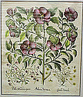 3 large Antique Botanical Prints