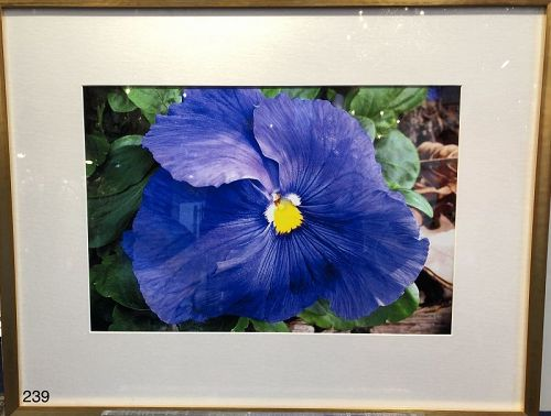 High Definition photo of a Pansy