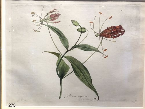 German Botanical Colored Etching Eighteenth Century