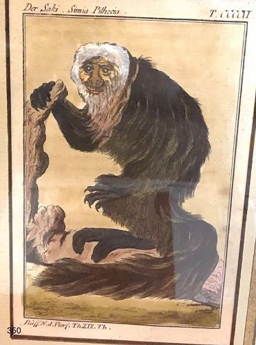 """Eighteenth Century, hand colored Etching exotic monkey 10 x 8"""""""