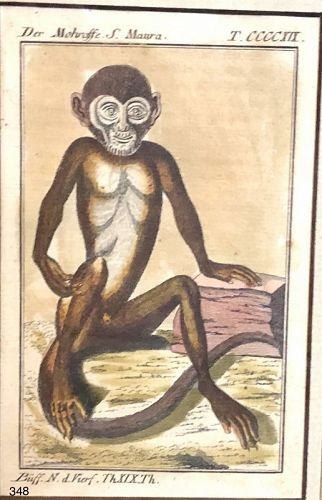 English  Eighteenth Century, hand colored Etching Exotic Monkey