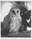 "Stow Wengenroth, lithograph, ""Owl"""