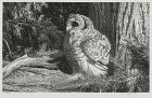 "Stow Wengenroth, lithograph, ""Wood Owl"""