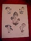 Mushroom species print, by Dathe 1973