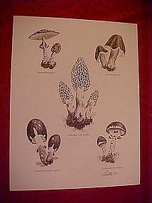 Print of mushrom species, Dathe 1973