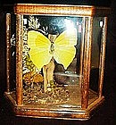 Real butterfly mounted in glass & wood case