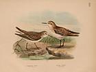 Dresser Birds of Europe Little Stint Lithograph Print
