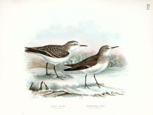 Dresser Birds of Europe Temminck's Stint Lithograph
