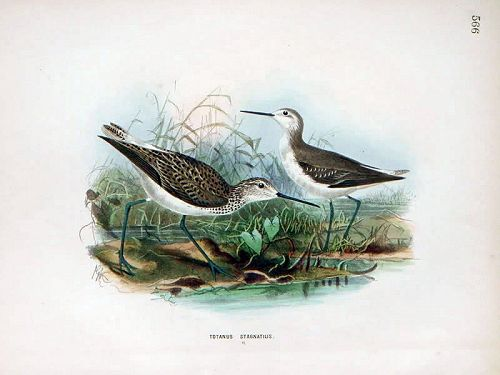 Dresser Birds of Europe Marsh Sandpiper  Lithograph